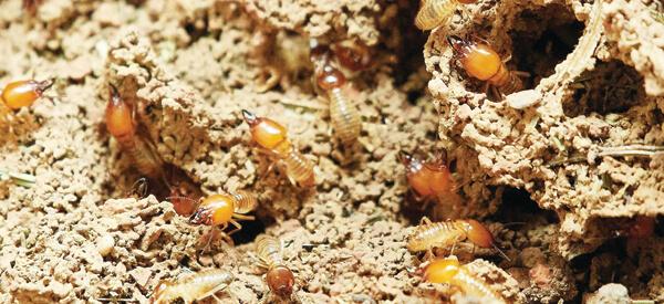termite control central coast