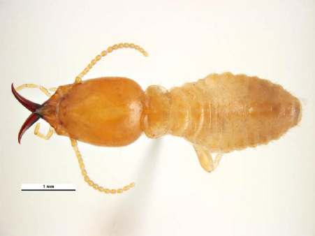 Types of Termites found on the Central Coast